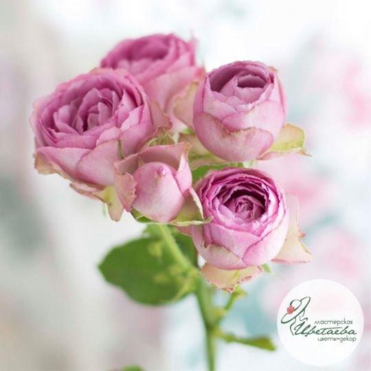 Цветок пионовидной кустовой розы