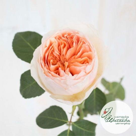 Цветок пионовидной розы